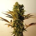Hammershark (Resin Seeds) feminizada