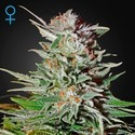 Super Lemon Haze Autofloreciente (Greenhouse Seeds) feminizada
