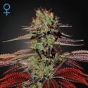 King's Kush Autofloreciente (Greenhouse Seeds) feminizada