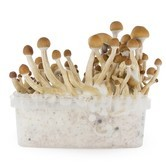 Kit de Cultivo Fresh Mushrooms 'McKennaii'