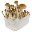 Kit de Cultivo Fresh Mushrooms 'McKennaii'