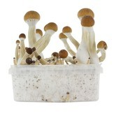 Kit de Cultivo Fresh Mushrooms 'Golden Teacher'