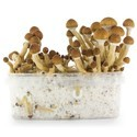 Kit de Cultivo Fresh Mushrooms 'Ecuador'