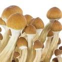 Kit de Cultivo Fresh Mushrooms 'Ecuador'