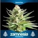 3 Gratis Semillas de Marihuana (Zamnesia Seeds)