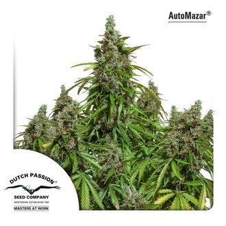 Auto Mazar (Dutch Passion) feminizada