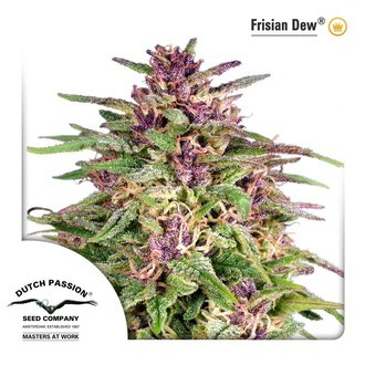 Frisian Dew (Dutch Passion) feminizada