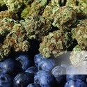 Blueberry (Dutch Passion) feminizada
