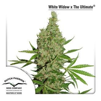 White Widow (Dutch Passion) feminizada
