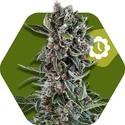 Blueberry Cheese Autoflowering (Zambeza) feminizada