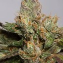 707 Truthband (Humboldt Seeds) feminizada