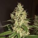 Raspberry Diesel (Humboldt Seeds) feminizada