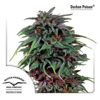 Durban Poison (Dutch Passion) feminizada