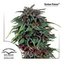Durban Poison (Dutch Passion) feminizada