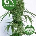 Ocean's Twelve Haze (Kiwi Seeds) feminizada