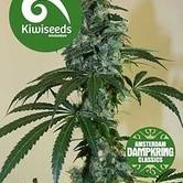 G13 x Amnesia Haze by Dampkring Classics (Kiwi Seeds) feminized