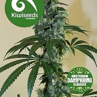 G13 x Amnesia Haze (Kiwi Seeds) feminizada