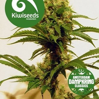 Cheese x Haze (Kiwi Seeds) feminizada
