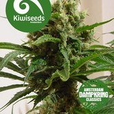 Cloud 9 (Kiwi Seeds) feminized