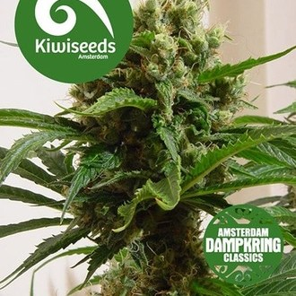 Cloud 9 (Kiwi Seeds) feminizada