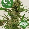 Mexican Haze (Kiwi Seeds) feminizada
