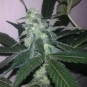 Swiss Cheese Autoflower (Nirvana) feminizada