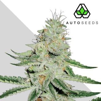 Dreamberry (Auto Seeds) feminizada
