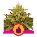 Royal Domina (Royal Queen Seeds) feminizada