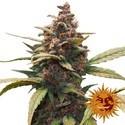 Ayahuasca Purple (Barney's Farm) feminizada