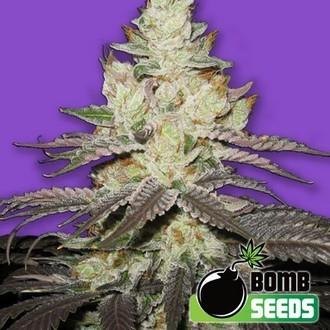 Killer Purps (Bomb Seeds) feminizada