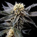 Strawberry Banana (Reserva Privada) feminizada