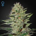Exodus Cheese Autofloreciente (Greenhouse Seeds) feminizada