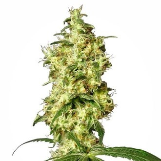 White Widow Automatic (White Label) feminizada