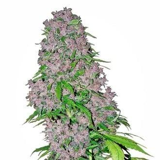 Purple Bud (White Label) feminizada