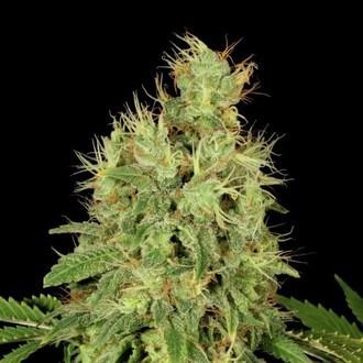CBD-Chronic (Serious Seeds) feminizada