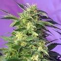 Killer Kush Auto (Sweet Seeds) feminizada