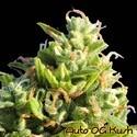 Auto OG Kush (Original Sensible Seeds) feminizada