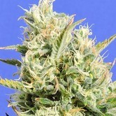 CBD Lemon Aid (Original Sensible Seeds) feminizada