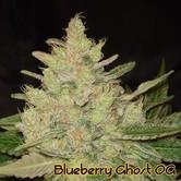 Blueberry Ghost OG (Original Sensible Seeds) feminizada