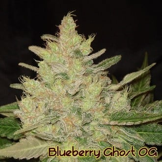 Blueberry Ghost OG (Original Sensible Seeds) feminizada