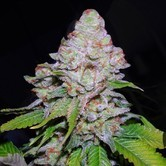 White Berry (VIP Seeds) feminizada