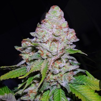 White Berry (VIP Seeds) feminizada
