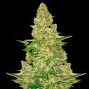 Power VIP (VIP Seeds) feminizada