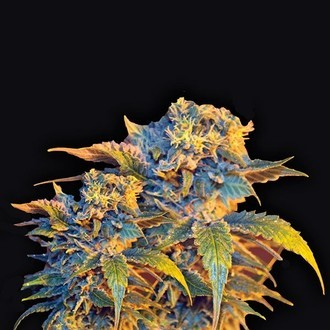 Colombian Sweet (VIP Seeds) feminizada