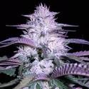 Currant Kush (VIP Seeds) feminizada