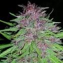 Erdpurt (ACE Seeds) feminizada