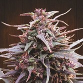Purple Haze x Malawi (ACE Seeds) feminizada