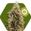 Green AK XL Autofloreciente (Zambeza) feminizada
