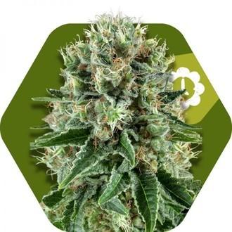 OG Bubble Gum Autofloreciente (Zambeza) feminizada