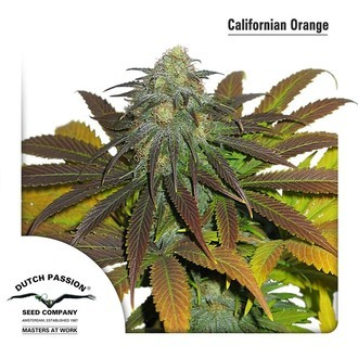 Californian Orange (Dutch Passion) feminizada
